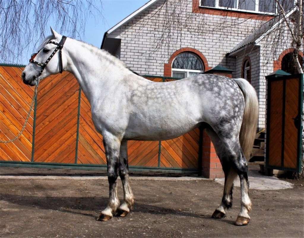 Орловская лошадь