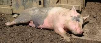 Ауеска у свиньи