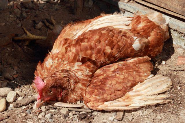 Болезнь Марека у курицы