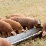 Кормушка для свиней