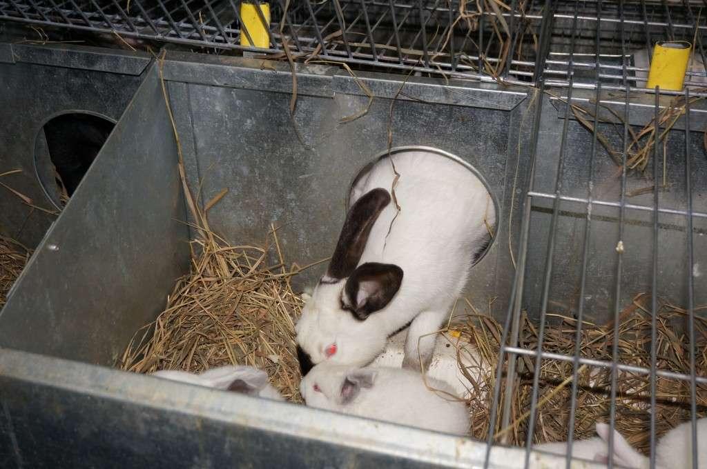 Как рожают кролики