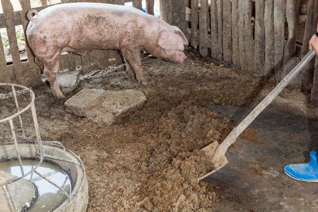 Уборка за свиньями