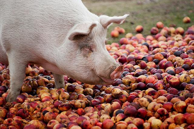 Свинья ест фрукты