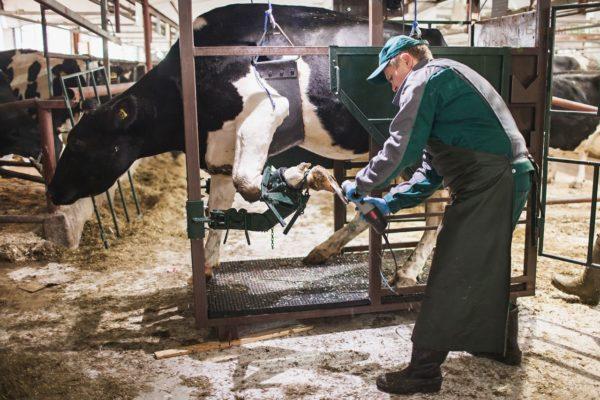 Устранение проблем с копытами у коровы