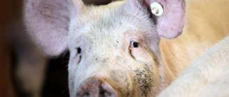 Свинья, больная саркоптозом