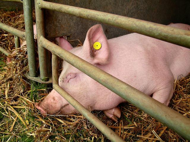 Свинья болеет