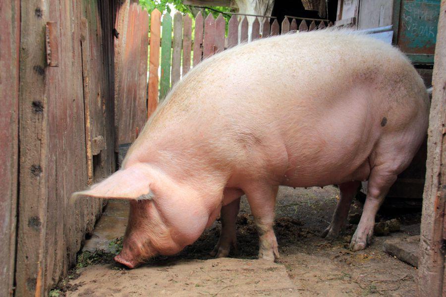 Руководство по разведению свиней от А до Я