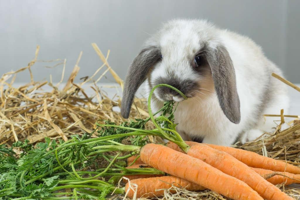 Кормление крольчихи после окрола