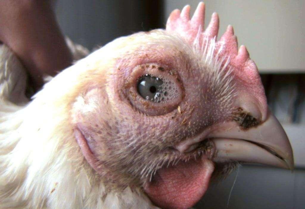 Сальмонеллёз у курицы