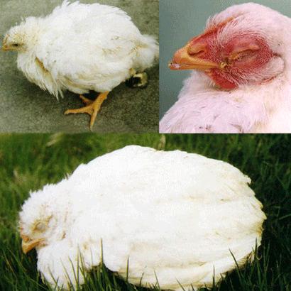 Колибактериоз у кур