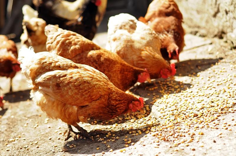 Куры едят корм
