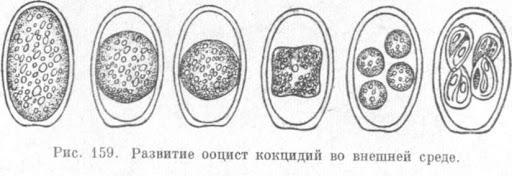 Ооциста