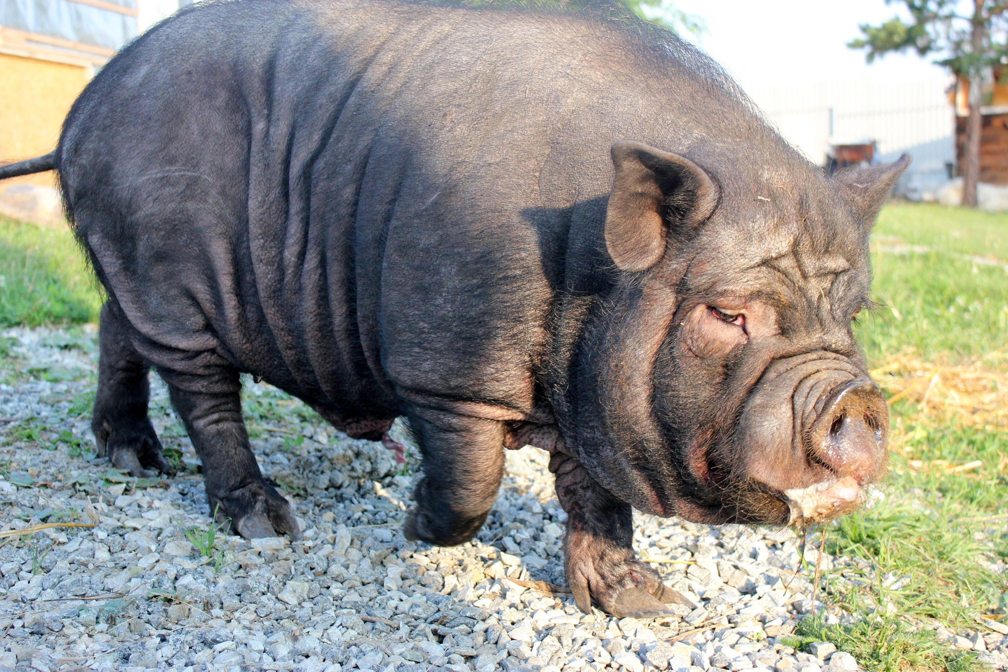 Какова рентабельность свиноводства и стоит ли заниматься этим бизнесом?