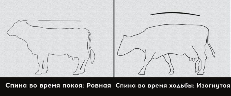 Легкая хромота у коровы