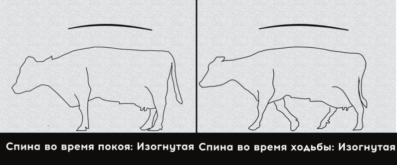 Умеренная хромота у коровы