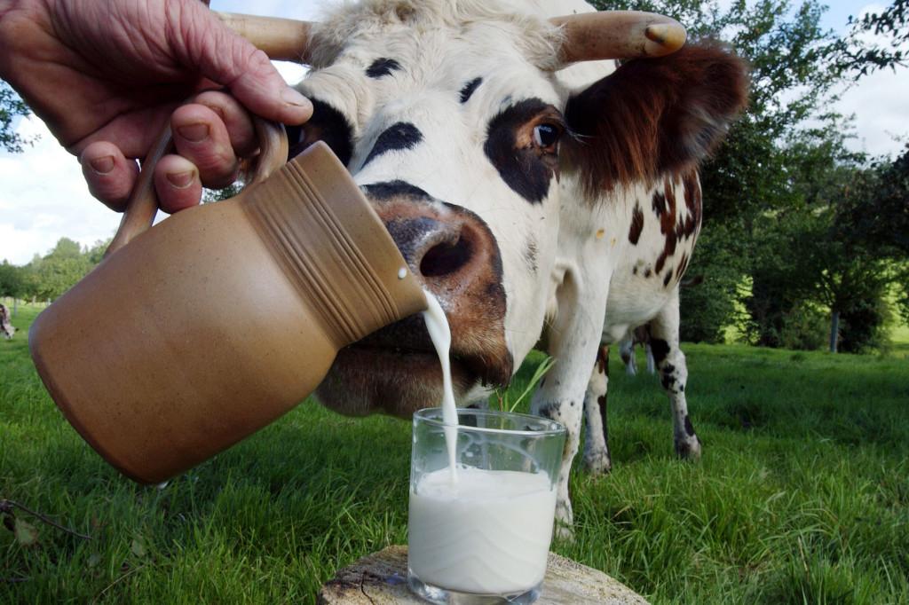 Горькое молоко у коровы