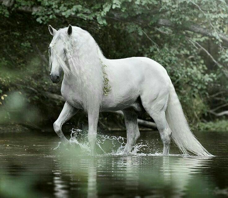 Белая Фризская лошадь