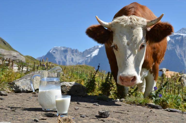 Соленое молоко у коровы