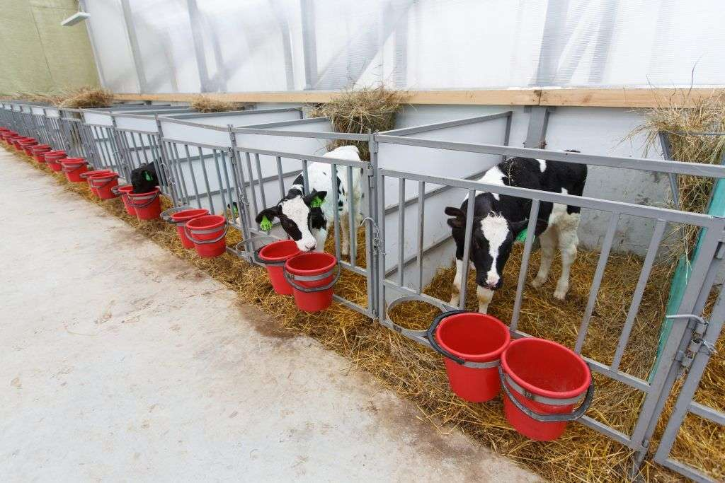 Кормушки для коров в стойле