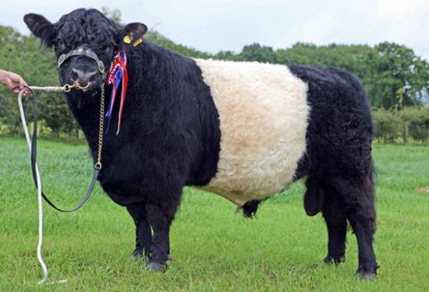 Галловейская порода быка