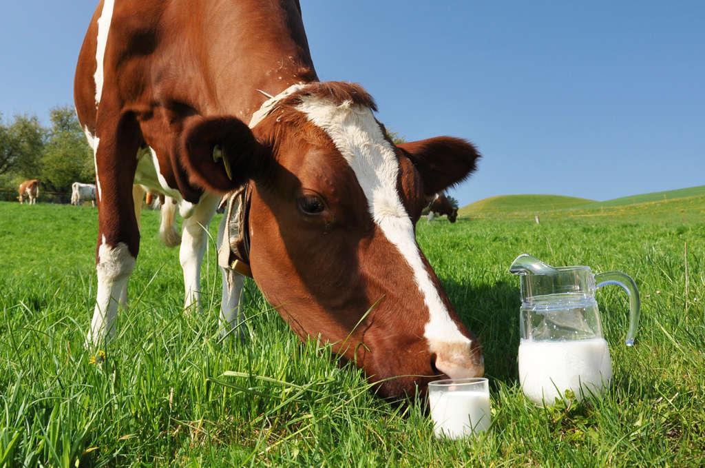 Жирность коровьего молока из под коровы