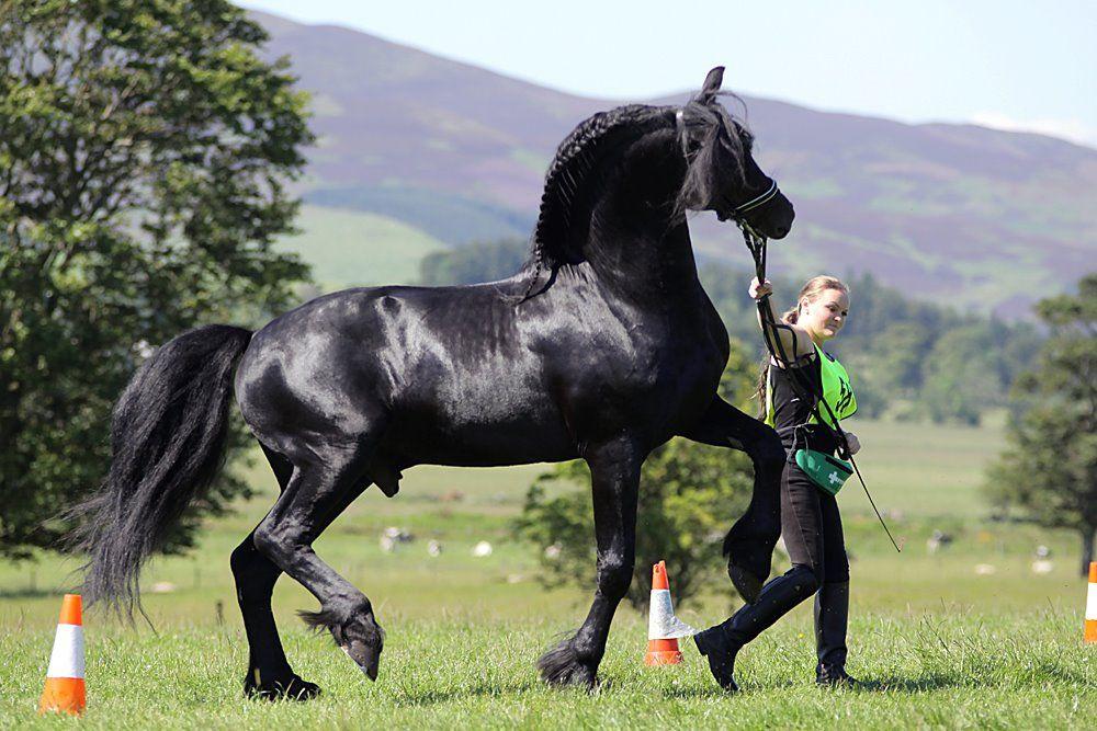 Фризская порода лошадей: описание и правила по разведению