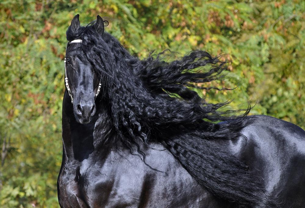 Грива Фризской лошади