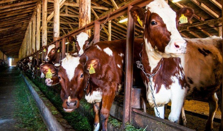 Привязанные коровы в стойле