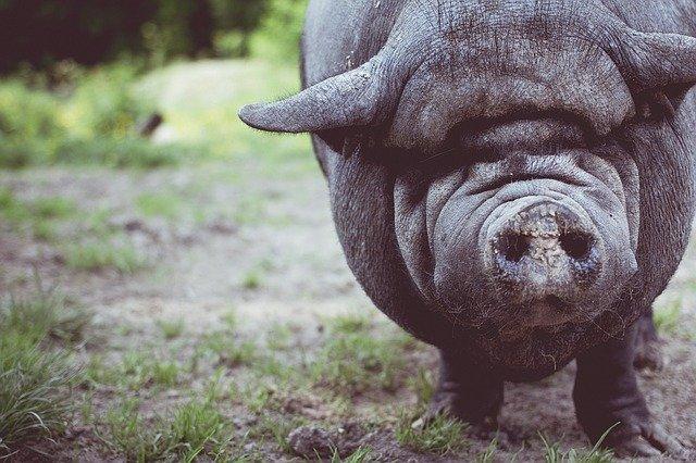 Вьетнам клонирует свиней