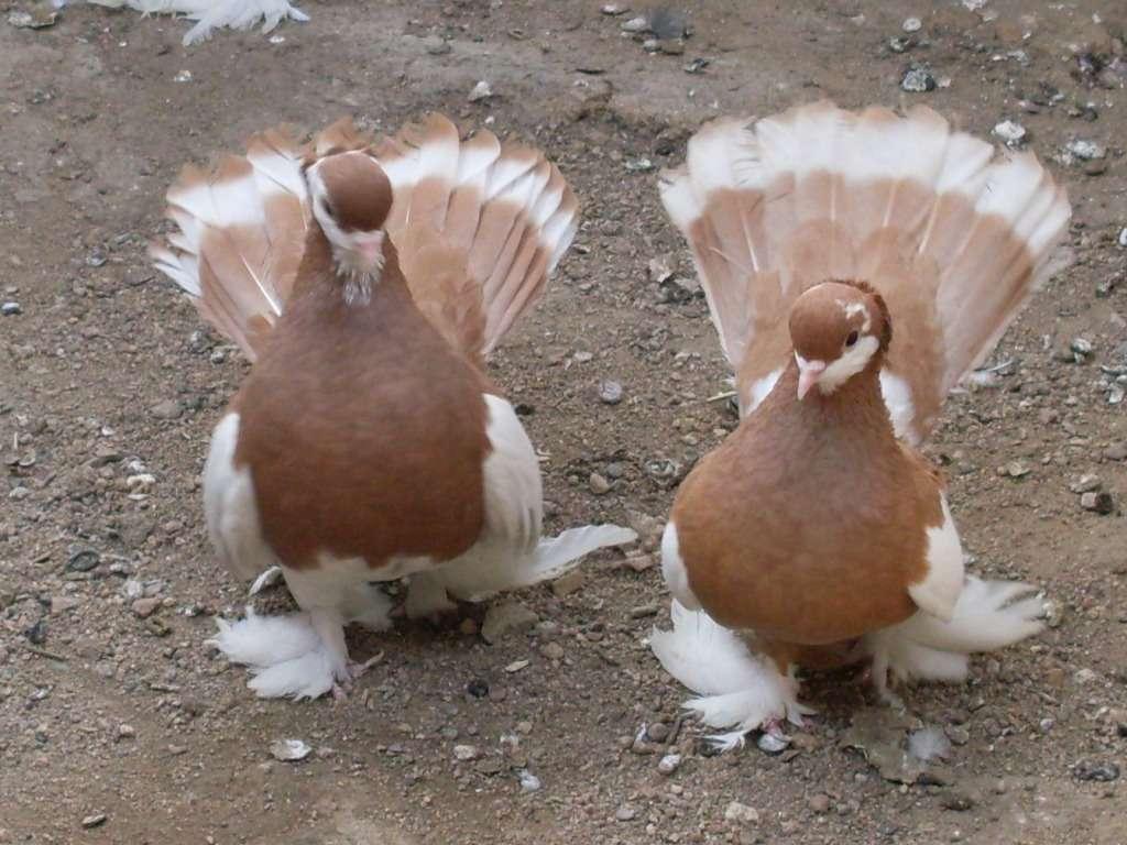 Шалевые Алтайские голуби