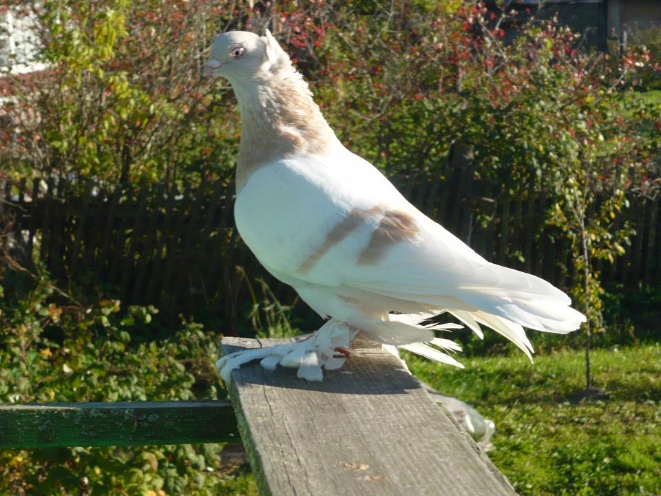 Узбекский чубатый голубь