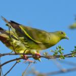 Зеленый помет у голубей