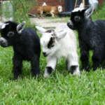 Камерунские маленькие козлята