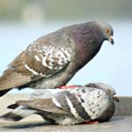 Размножение голубей