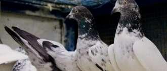 Пакистанские голуби