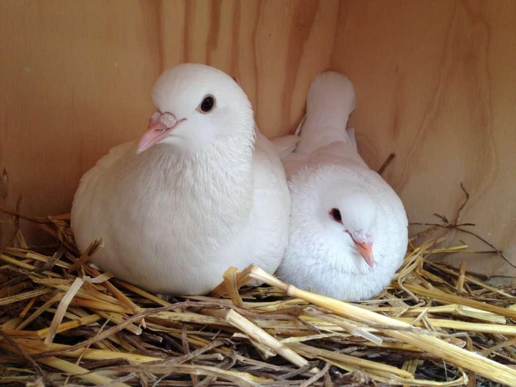 Голуби высиживают яйца