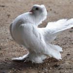 Статный голубь
