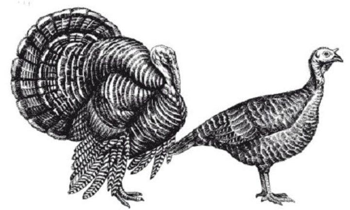 Самка и самец индюка