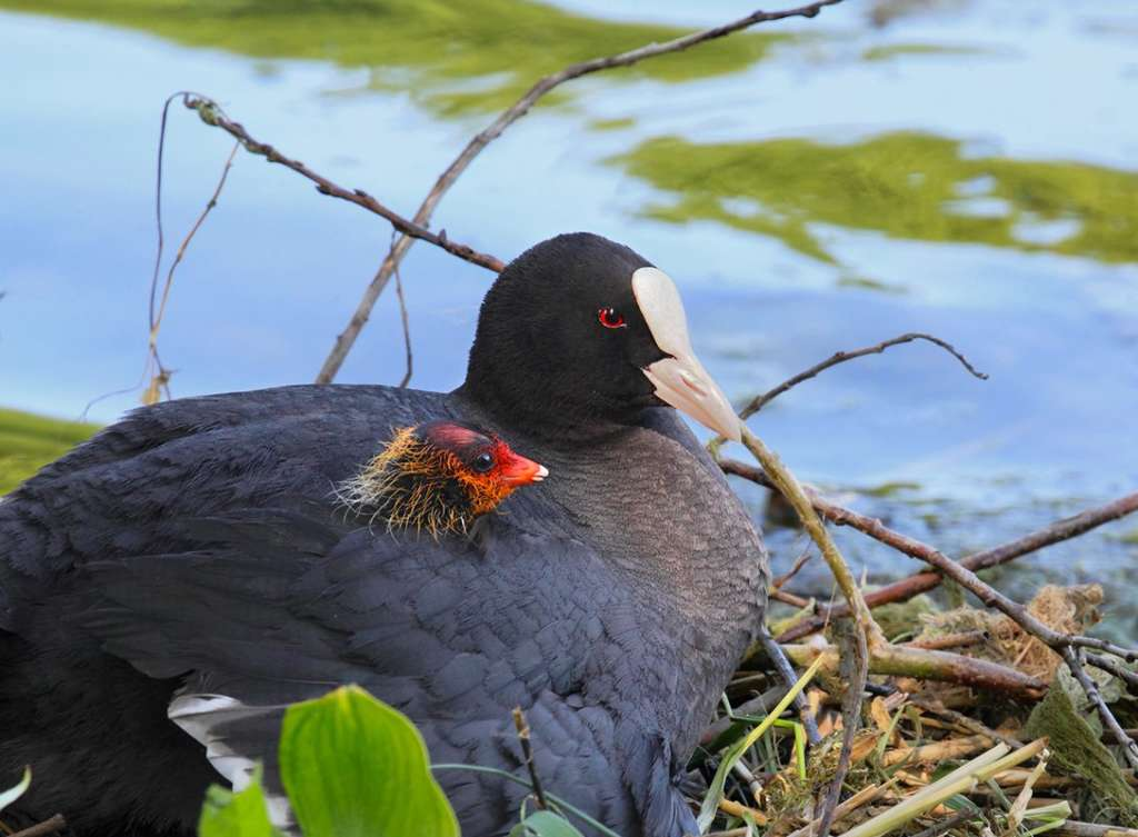 Черная птица с белым клювом