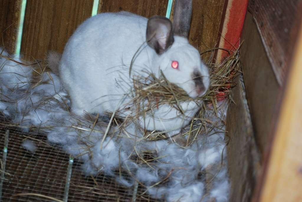 Беременный кролик