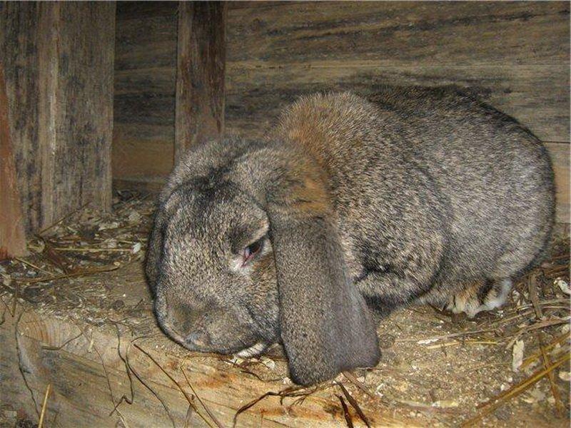 Вздутие у кролика