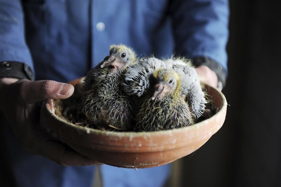 Гнездо для голубей
