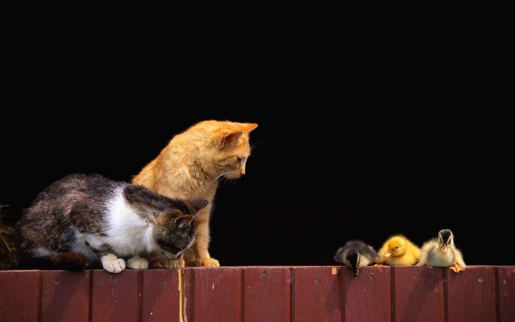 Кошки и утки
