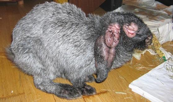 Зараженный миксоматозом заяц
