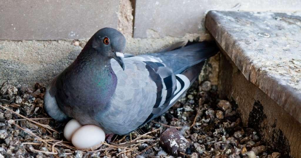 Голубь и яйца