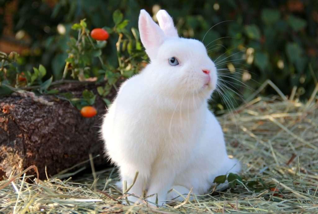 8 признаков, как можно узнать что крольчиха беременна