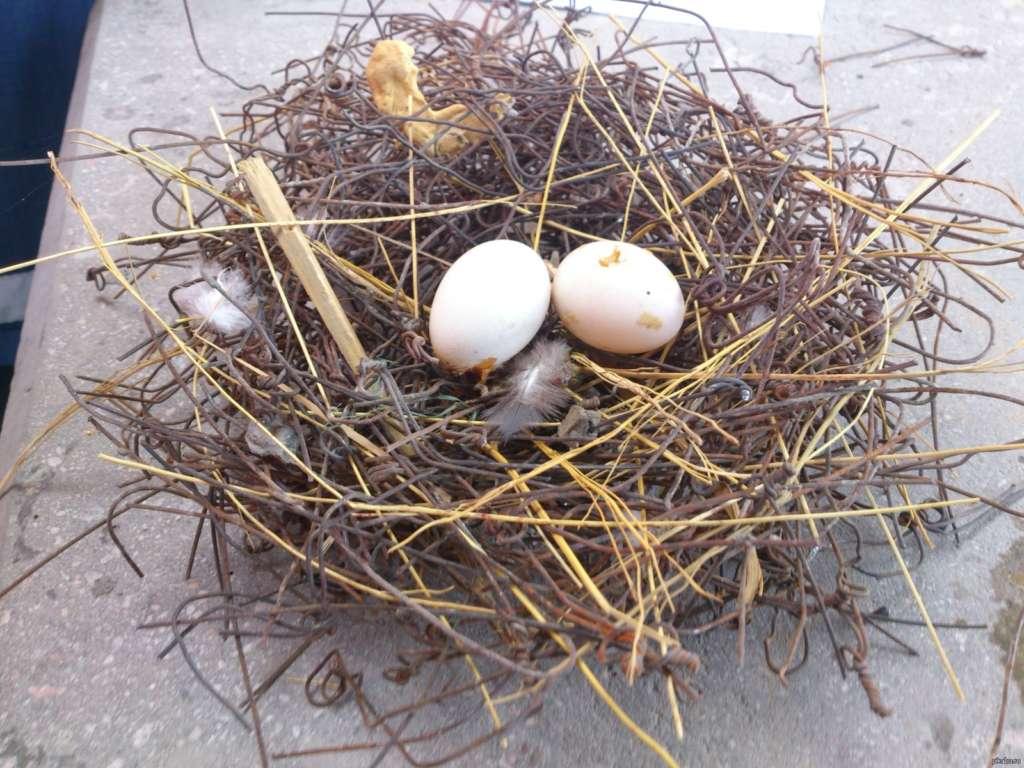 Голубиные яйца в гнезде