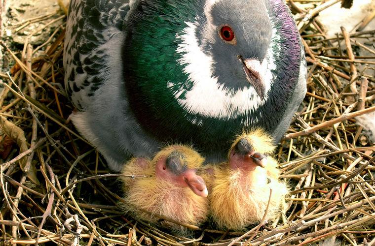Самка голубя и её два птенца