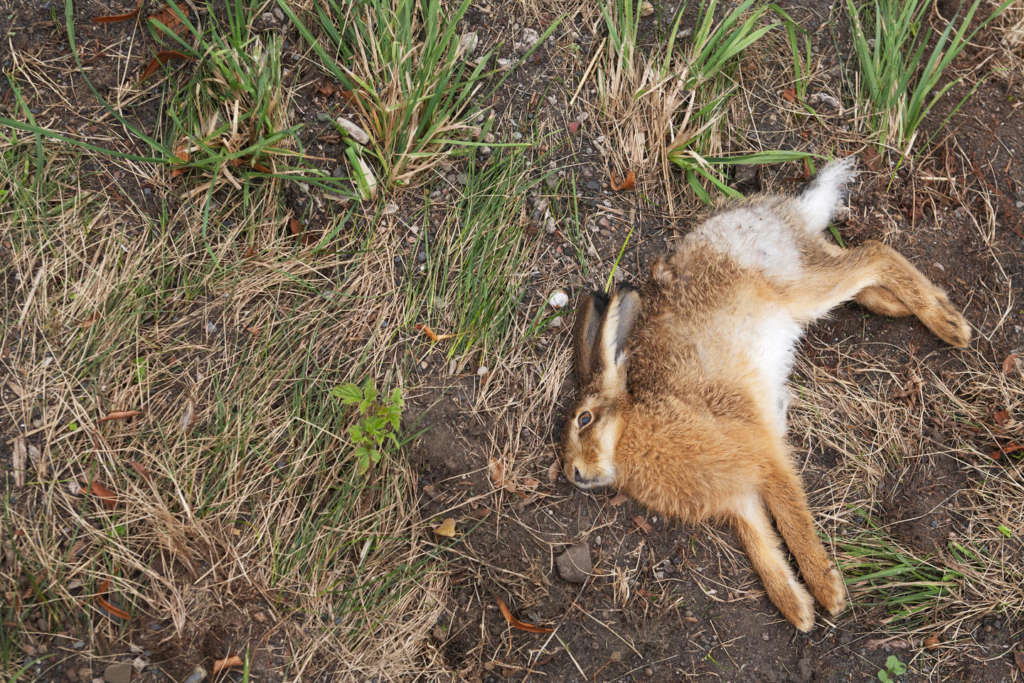 Стафилококк кроликов