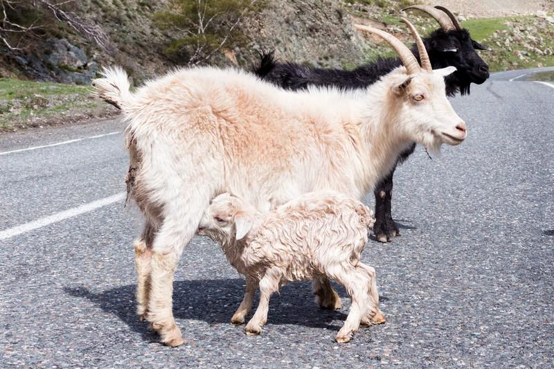 Алтайская коза